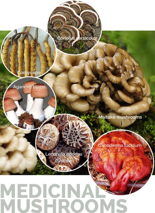 shrooms1 medicinal mushrooms Valley Fever